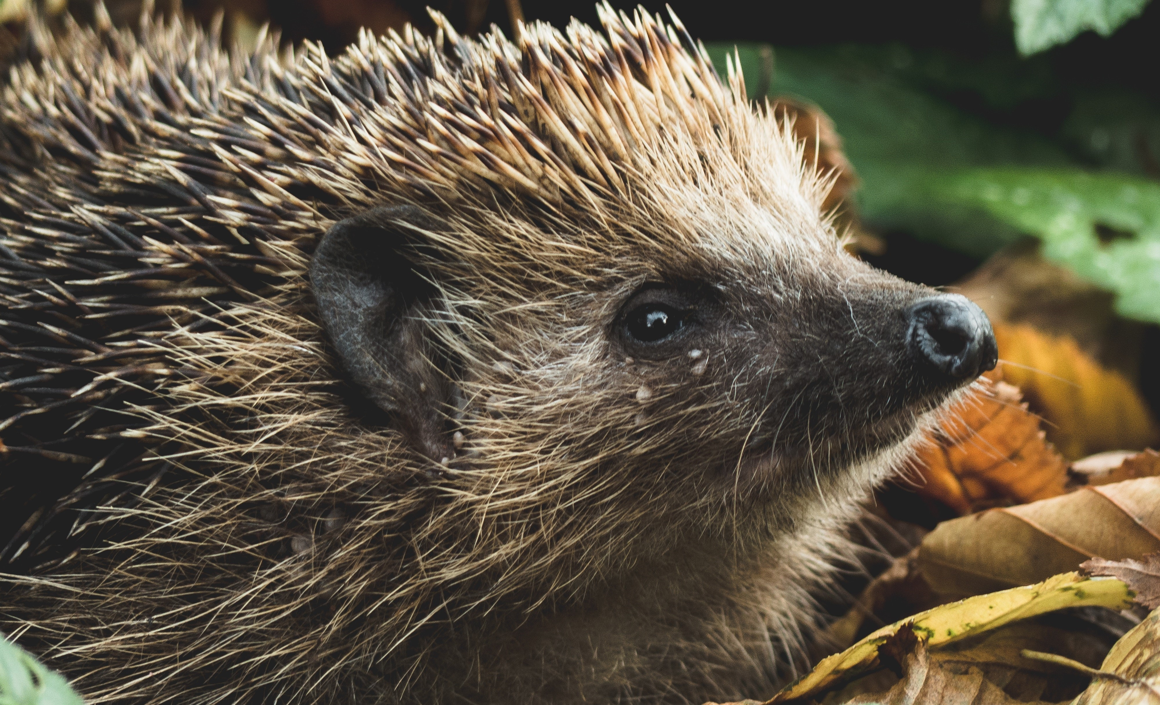 Hedgehogs are Great (and they know it!)